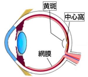 黄斑と中心窩