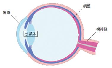 眼球の構造と水晶体