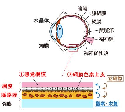 網膜の断面図